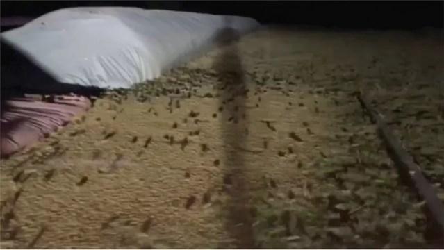 Milhares de camundongos aparecem dia e noite nas fazendas de Nova Gales do Sul — Foto: Reuters/Via BBC