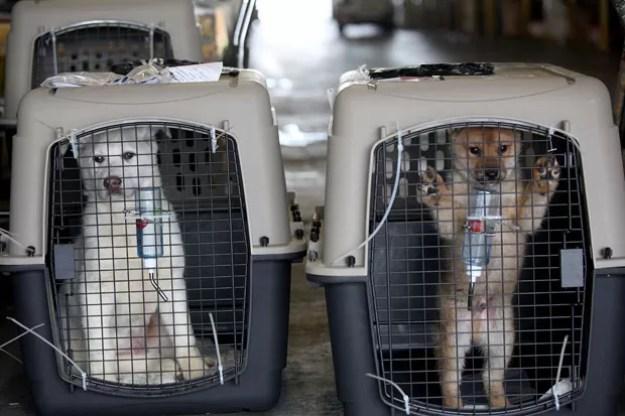 Cachorros sul-coreanos chegam a San Francisco após serem resgatados de fazenda (Foto: Sammy Dallal/AP/Humane Society International)