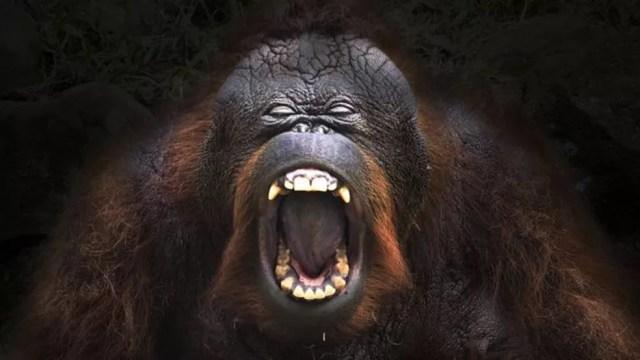 Nos primatas podemos encontrar pistas sobre nossa linguagem, embora sejam apenas teorias — Foto: Getty Images