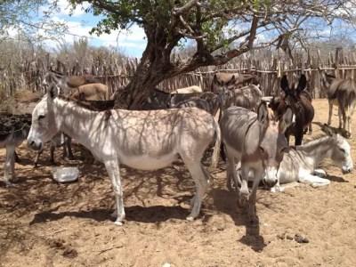 Jumentos recolhidos em estradas pernambucanas são levados ao Parque Ecológico (Foto: Odacy Amorim/ Arquivo pessoal)
