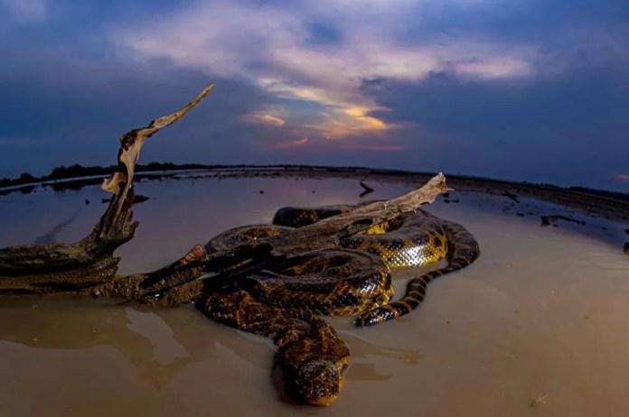Sucuri-amarela - Eunectes notaeus  — Foto: Ernane Junior/Foto