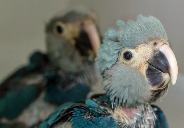 Exemplares de ararinha-azul nasceram em outubro em um centro de conservação no interior de São Paulo — Foto: Divulgação/ICMBio