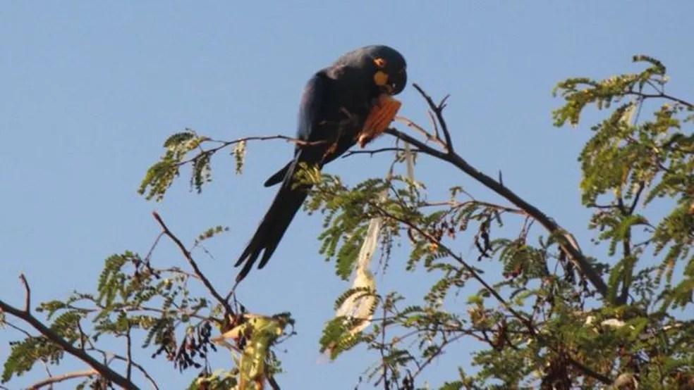 Arara-azul-de-lear — Foto: ECO