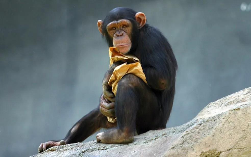 Chimpanzés são 1,5 vezes mais fortes que os seres humanos, e tem fibras musculares que os permitem 'arrancar' mais rápido (Foto: Aaron Logan/WikiMedia Commons)