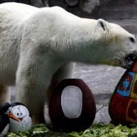 Calor mata único urso polar do zoológico de Buenos Aires.