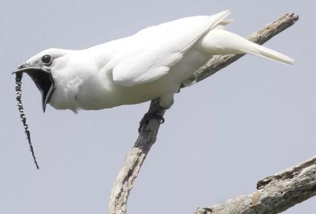 Pássaro amazônico tem intensidade de canto superior a um show de rock e é o mais alto da natureza — Foto: Anselmo d'Affonseca/INPA