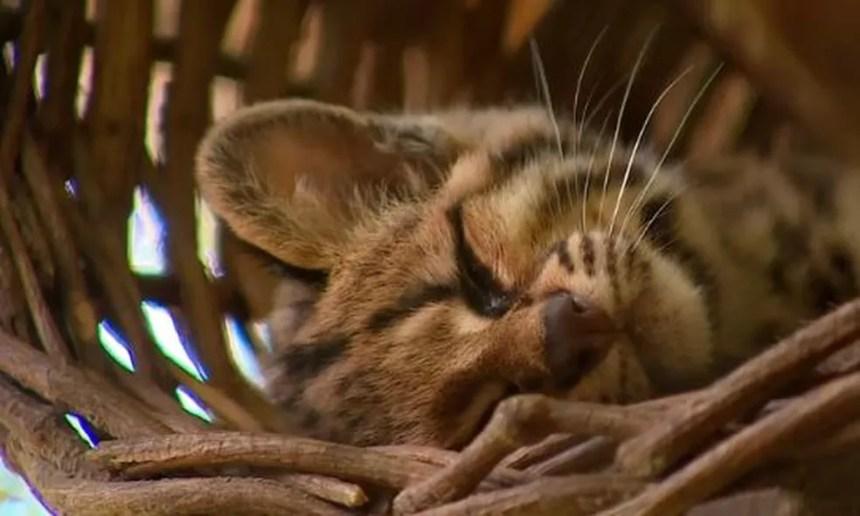 Gato maracajá é uma espécie com risco de extinção, encontrada na América do Sul. Dois filhotes podem ser encontrados no Minizoo de Canoas (Foto: Reprodução/RBS TV)