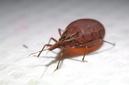 O barbeiro (Rhodnius prolixus), inseto transmissor da doença de Chagas — Foto:  AXS