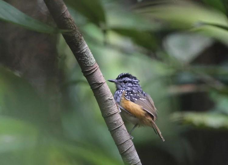 Hypocnemis rondoni, o cantador da floresta. Nome foi dado em homenagem ao Marechal Cândido Mariano da Silva Rondon, antropólogo e explorador brasileiro. (Foto: Fabio Schunck/WWF)
