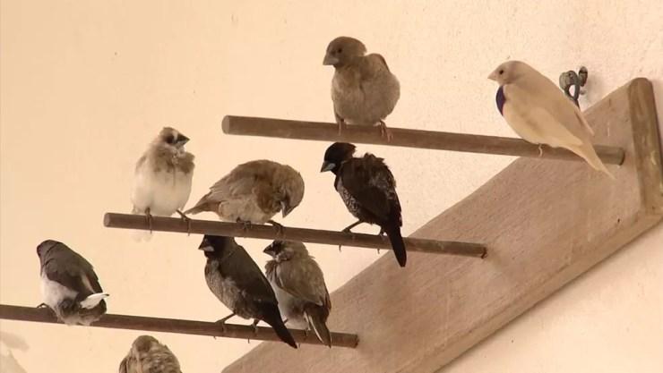 Pássaro asiático é conhecido pelas cores, tamanhos e docilidade (Foto: Reprodução/TV TEM )