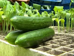 A vantagem do plantio do pepino é que ele pode ser plantado durante todo o ano (Foto: Reprodução / TV TEM)