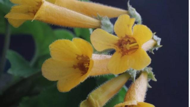 Planta com flor alaranjada do Vietnã — Foto: Sadie Barber