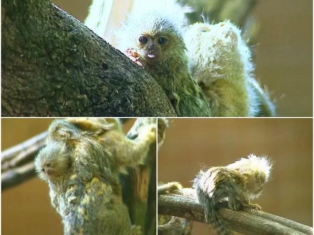 Filhote de macaco sagui pigmeu nasce no Parque Ecológico de São Carlos (Foto: Paulo Chiari/EPTV)