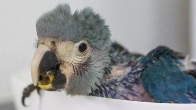 Tráfico de animais ajudou a dizimar população da ararinha-azul (Foto: Leonardo Milano)