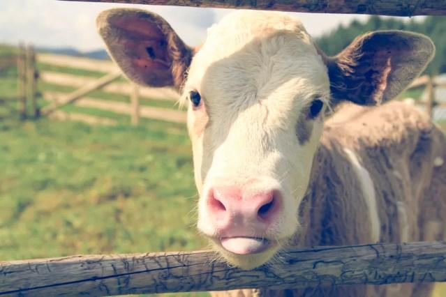 O uso excessivo de antibióticos também pode prejudicar a exportação de carne bovina do Brasil. — Foto: Unsplash