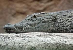 Crocodilo precisou ser hospitalizado após mulher cair em cima do animal na Rússia (Foto: Leigh Bedford/Wikimedia Commons)