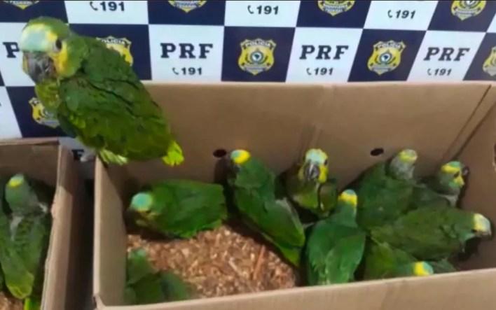 Pássaros silvestres foram encontrados em caixas, dentro de carro em rodovia na Bahia — Foto: Divulgação/PRF