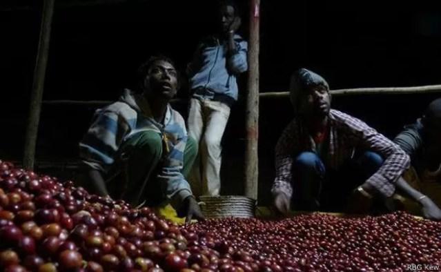 Agricultores separam os frutos; este processo contínuo ocorre de dia ou de noite  (Foto: RBG KEW/BBC)