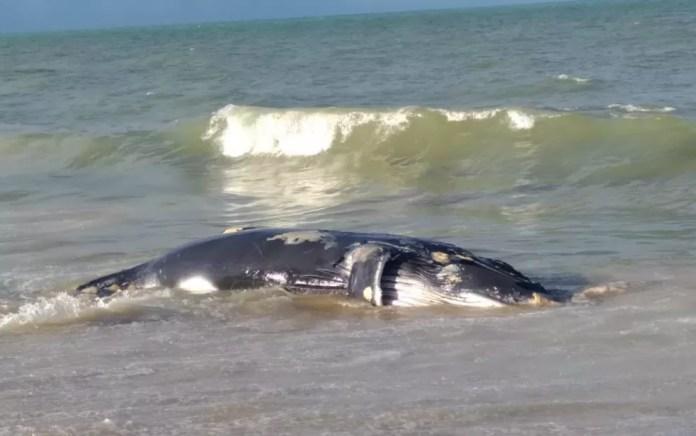 Sobe para 31 o número de baleias encontradas mortas na Bahia, este ano (Foto: Cristna Sulz / Arquivo Pessoal)