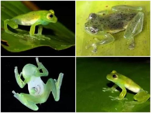 De dorso verde-claro com pontos negros, ventre transparente, íris verde-amarelada, a perereca de vidro ainda é pouco conhecida no meio científico (Foto: Reprodução / Inpa)