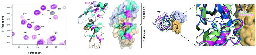 Imagem 1: dados de ressonância magnética nuclear para a construção de modelos; imagem 2: a estrutura do Ixolaris; imagem 3: modelo de interação da proteína com o Fator X da coagulação  — Foto: Reprodução / Acervo Ana Paula Valente