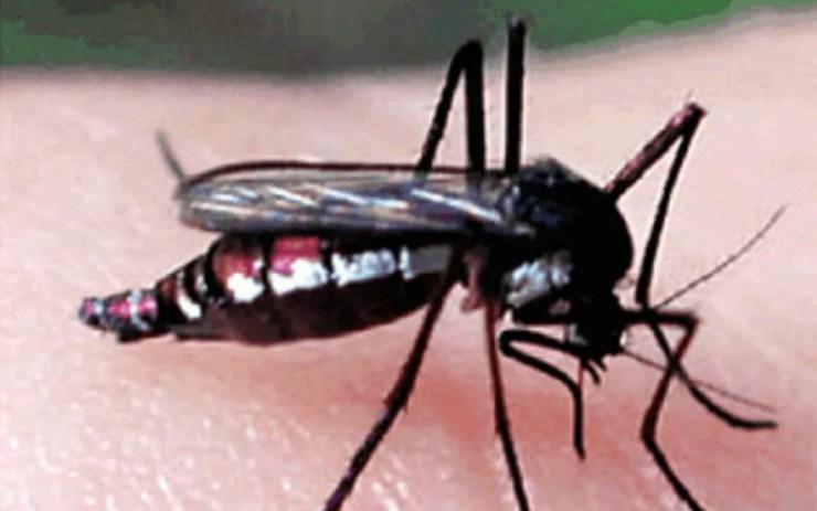 Mosquito haemagogus janthinomys, que também transmite a febre amarela — Foto: Reprodução