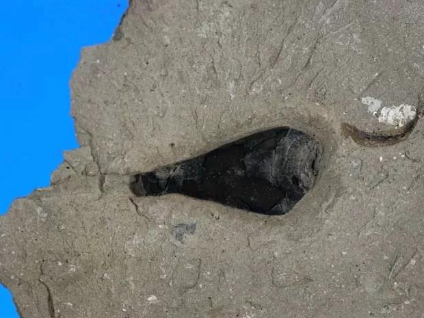 Fóssil de cefalópode de mais de 160 milhões de anos armazenou pigmentos de melanina (Foto: British Geological Society)