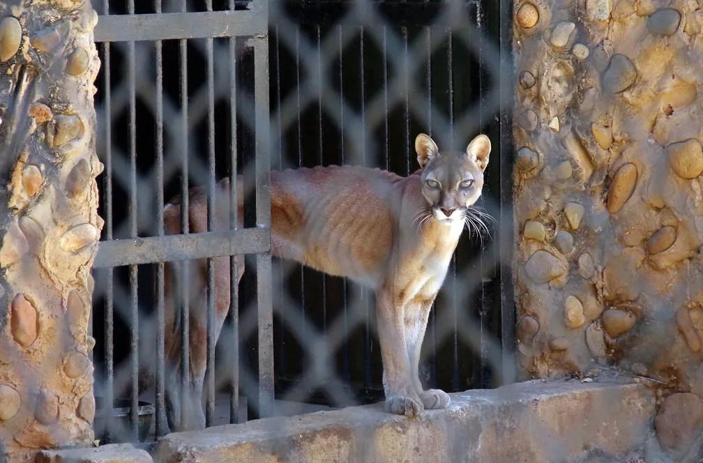 Puma é capturado pelo jornal 'Panorama'; animais sofrem por falta de alimentos na Venezuela (Foto: Miguel Romero/Panorama/AFP )