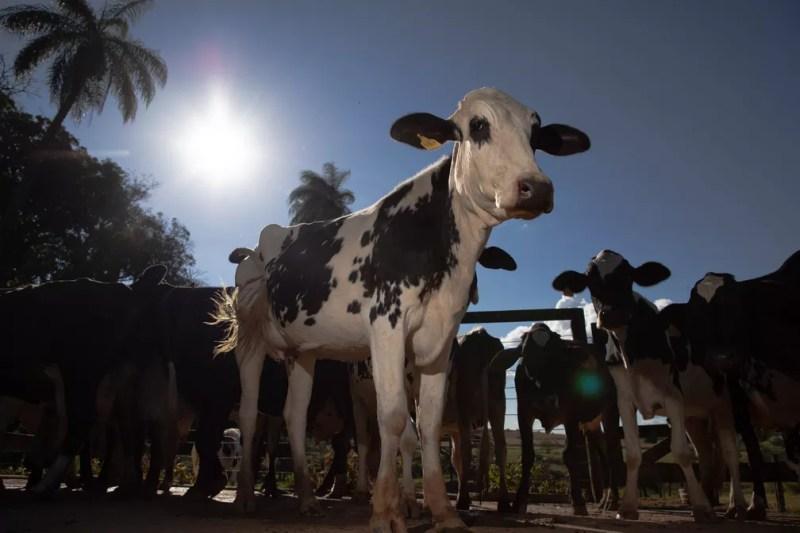 Criação de gado leiteiro no Distrito Federal — Foto: CNA/Divulgação