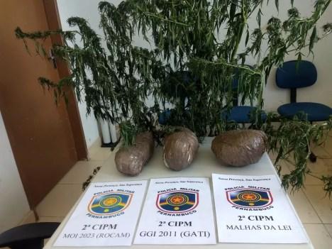 900 pés da droga foram erradicados em Cabrobó.  — Foto: Polícia Militar
