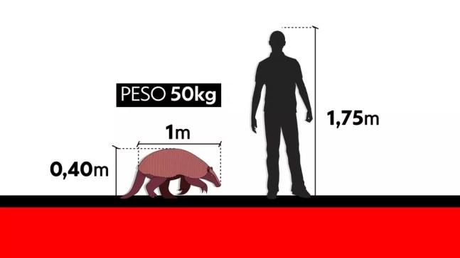 Comparativo entre tamanho do tatu e de um homem com 1,75 m de altura — Foto: Arte/TV Globo