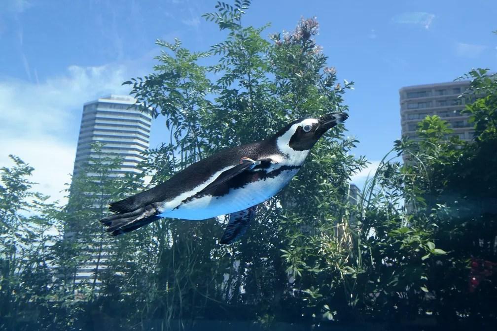 14 de julho - Um pinguim africano nada em um tanque de água no aquário de Tóquio, no Japão. O aquário 'Tokyo's Sunshine' reabriu em 12 de julho de 2017 com uma nova exibição de animais marinhos (Foto: Toshifumi Kitamura/AFP)