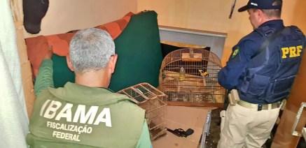 Pássaros apreendidos em Floresta — Foto: Polícia Rodoviária Federal/ Divulgação
