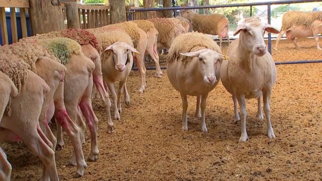 Ovelhas para produzir leite em Porto Feliz — Foto: Reprodução/TV TEM