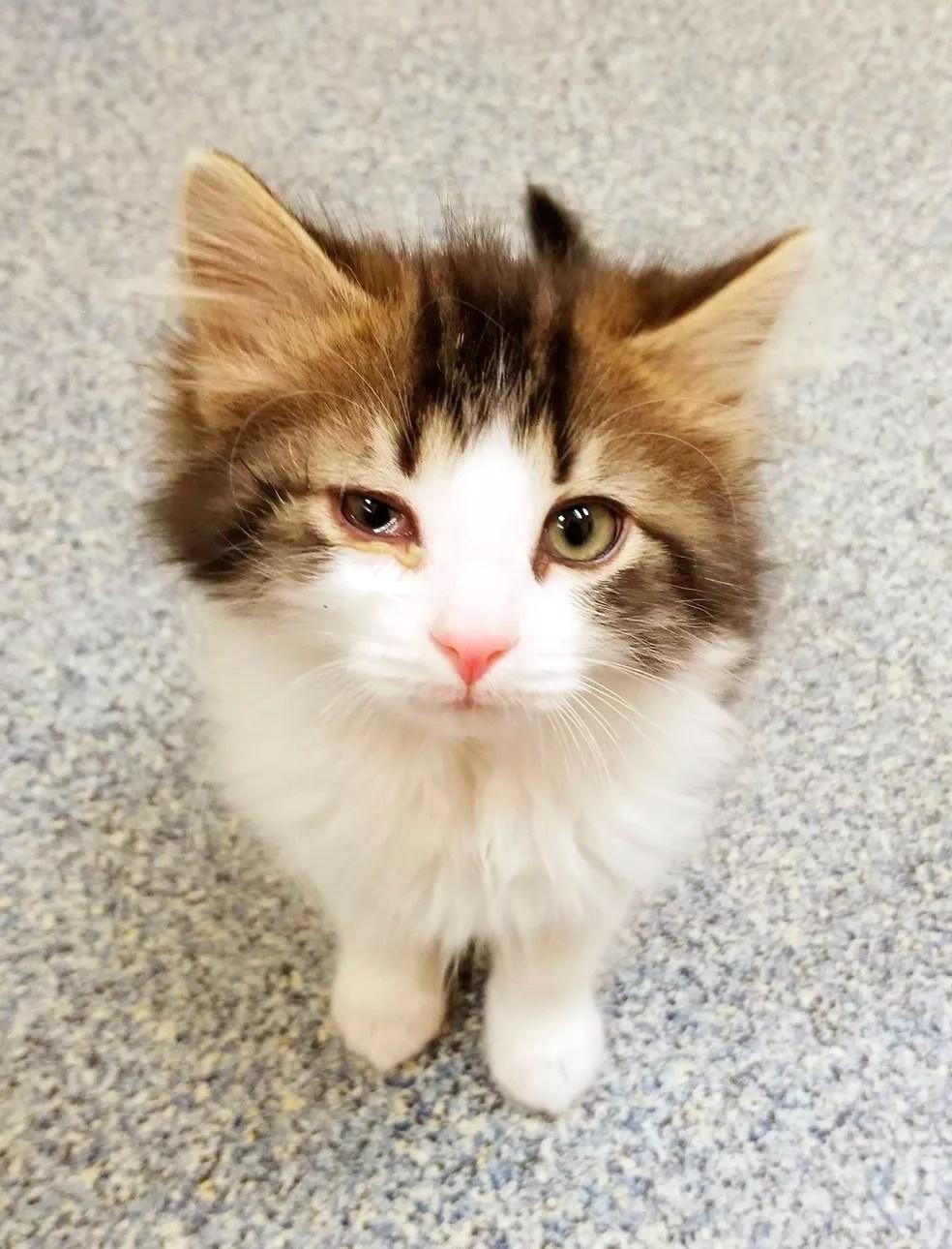 Badges, o gato policial, que está doente (Foto: Michigan Humane Society via AP)