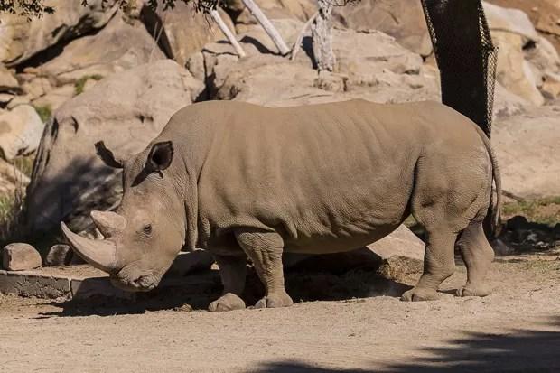 Rinoceronte-branco-do-norte Angalifu, que vivia no Zoológico de San Diego, morreu: restam apenas 5 da mesma espécie (Foto: Reuters/Ken Bohn/San Diego Zoo)