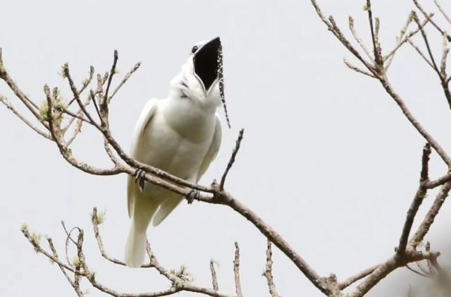 Araponga-da-amazônia tem canto mais alto do mundo natural — Foto: Anselmo D'Affonseca/Inpa