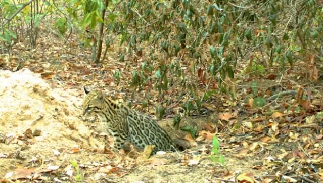 Exemplar de jaguatirica é visto saindo de buraco cavado por tatu-canastra. Armadilha fotográfica captou movimentação e detectou que 24 espécies se beneficiam das tocas (Foto: Divulgação/Projeto Tatu-canastra)
