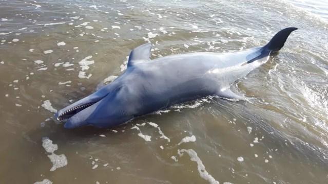 Golfinho foi morto devido ao uso de redes de pesca em São José do Norte — Foto: Divulgação/BM