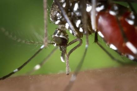 O vírus da zika, dengue e chikungunya são transmitidos pelo mosquito Aedes aegypti — Foto: Pixabay/Divulgação
