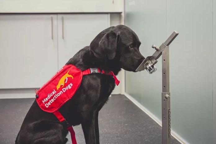 O cãozinho Marlow, da raça labrador, foi um dos cachorros treinados para detectar a Covid-19 em estudo no Reino Unido. — Foto: Neil Pollock/MDD