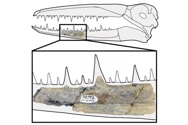 Fragmento da mandíbula de um pelagornitídeo encontrado na Antártida  (Foto: Peter Kloess/UC Berkeley)