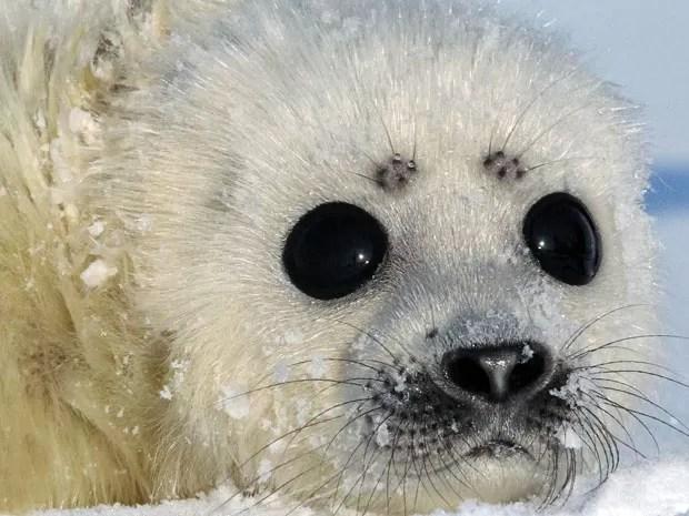 Foca é outro animal que vive em locais frios (Foto: Francisco Mattos)