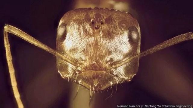 Formiga prateada do Saara 'se adaptou' ao ambiente para sobreviver, dizem cientistas  (Foto: Norman Nan Shi y Nanfang Yu Columbia Engineering/BBC)