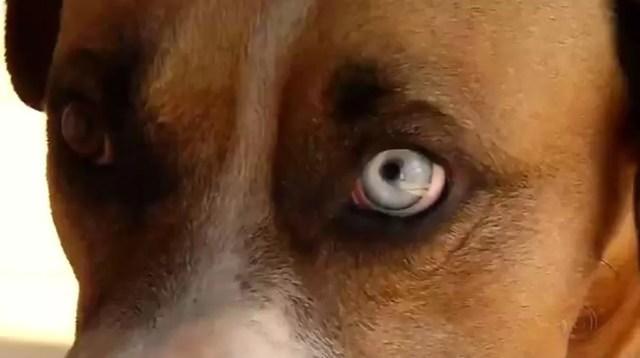 Cão de moradora de Rio Preto (SP) tem heterocromia, mas anomalia não afeta a saúde dele (Foto: Reprodução/TV TEM)