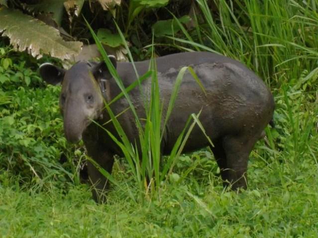 Anta da espécie Tapirus bairdii é vista no Parque Nacional de Corcovado, na Costa Rica  (Foto: Reprodução/Flickr/Miguel Vieira)