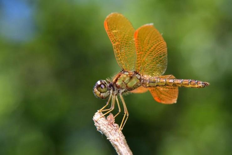 As libélulas podem atingir 80km/h durante voo. — Foto: Denis Faria de Moura/ Arquivo Pessoal