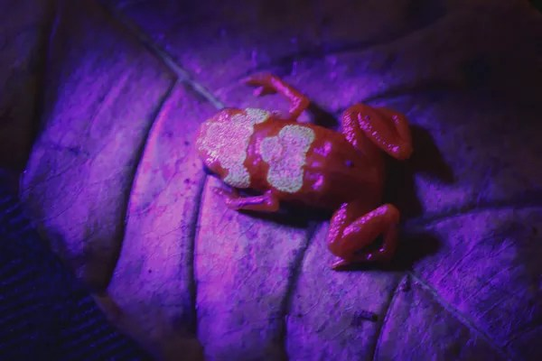 A nova espécie de sapo iluminada por uma lanterna UV (Foto: Nunes et al, 2021, PLOS ONE)