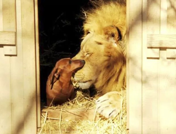 Leão 'Bonedigger' e chamado 'Milo' viraram amigos 'inseparáveis' (Foto: Reprodução/Facebook/The GW Zoo)
