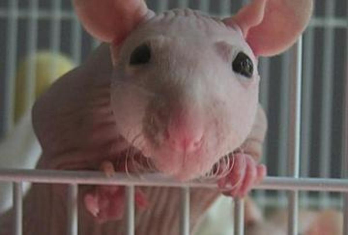 Furless Rat